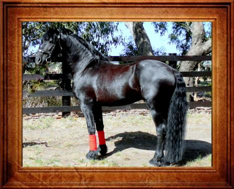 Friesian Horse Stallion. Friesian Foal Book Stallion