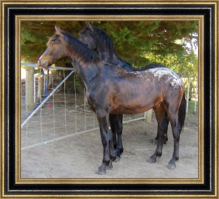 Gramayre Friesian Horse Stud - Knabstrupper Friesian Horses For Sale